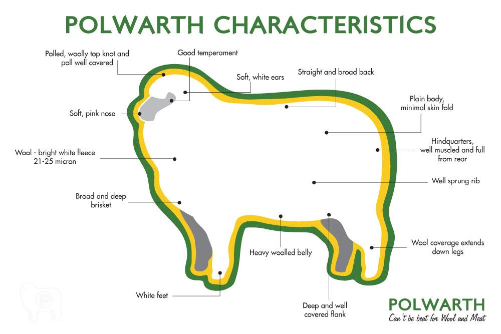 Polwarth Breed Characteristics