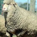 Polwarth: Produce long stapled, soft handling, high yielding fleece